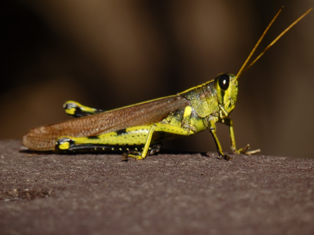 chartreuse hopper