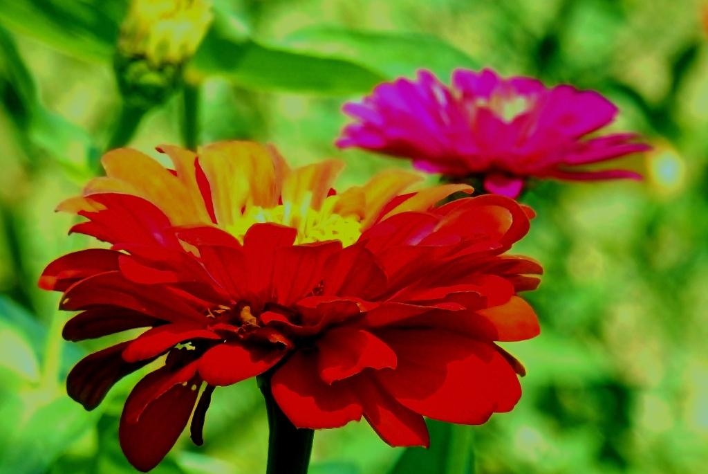 color blast zinnias