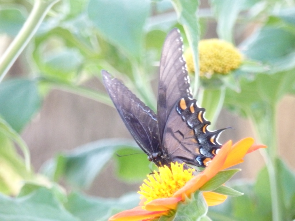 faded swallowtail
