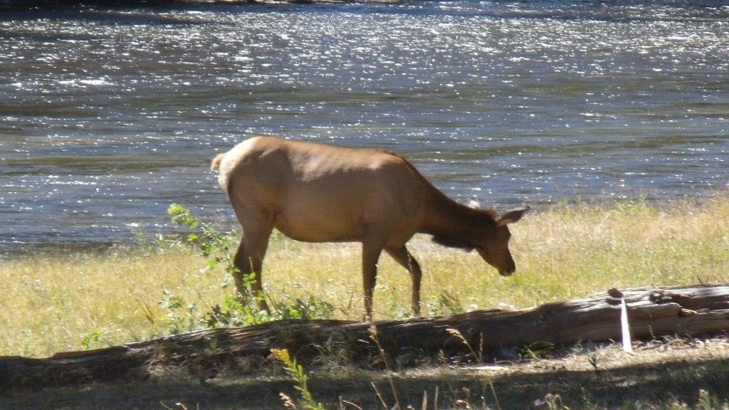 moose along yellowstone river