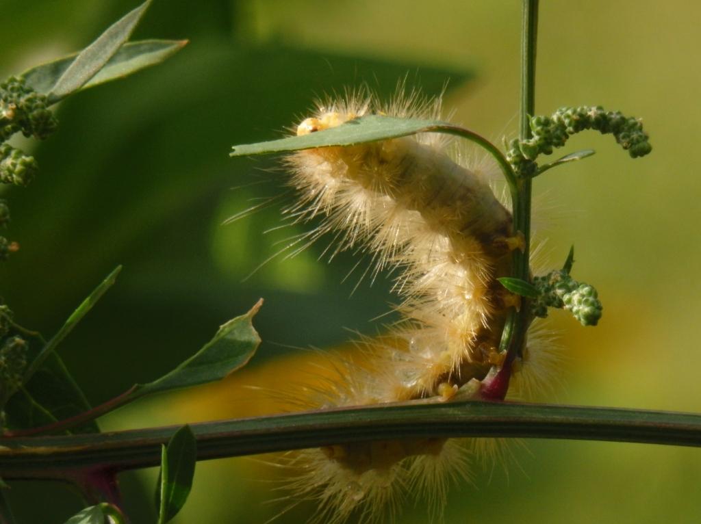 caterpillar on lambsquarter