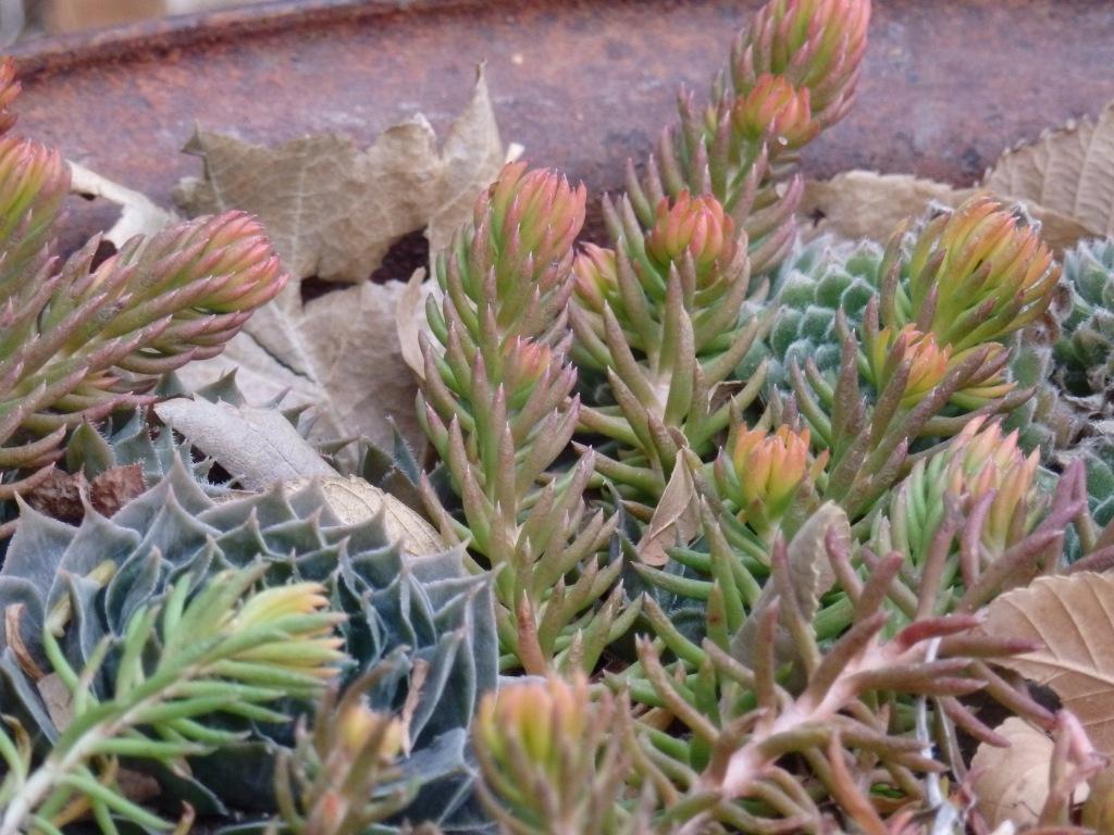 rusted succulent