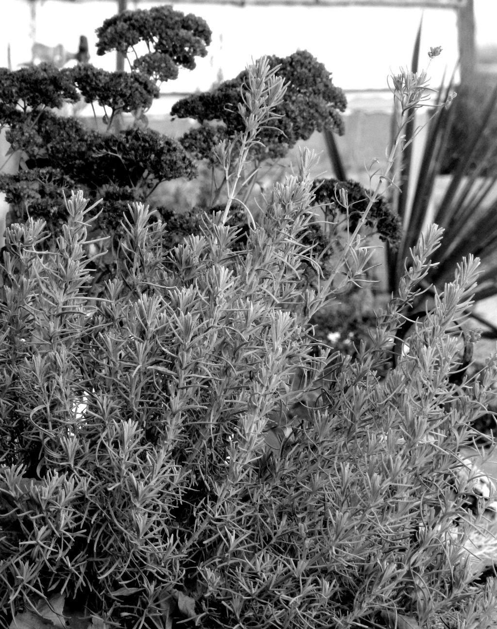 winter lavender scene