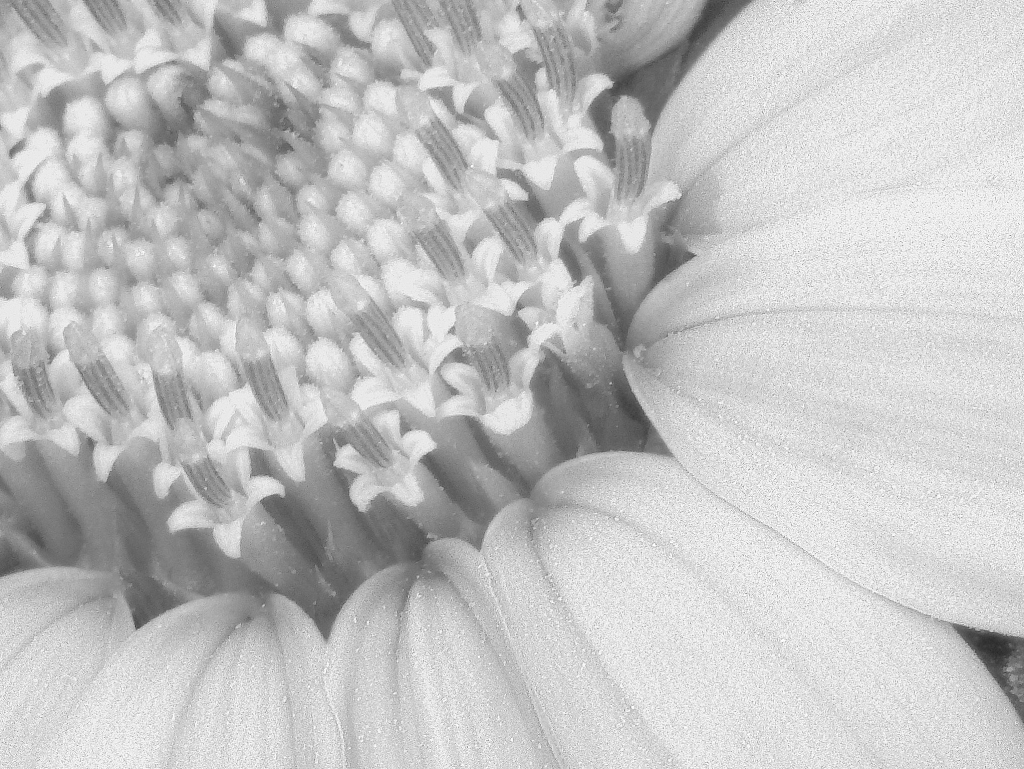 white out sunflower