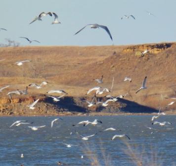 dancing gulls