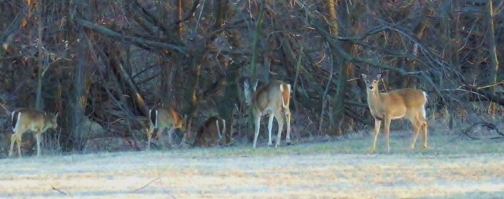 deer herd grazing