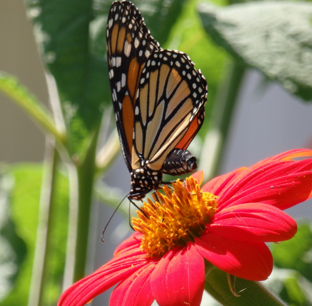 monarch shadow