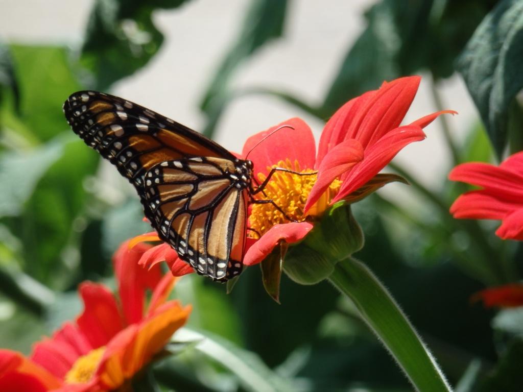 monarch sunflowers