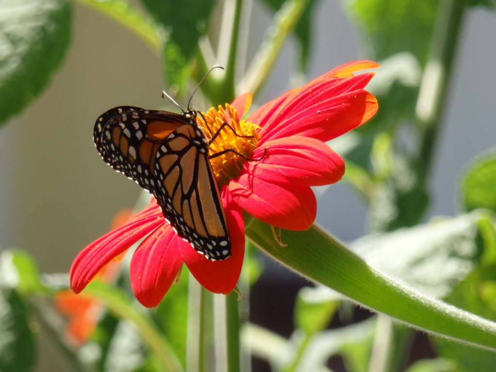 monarch solo