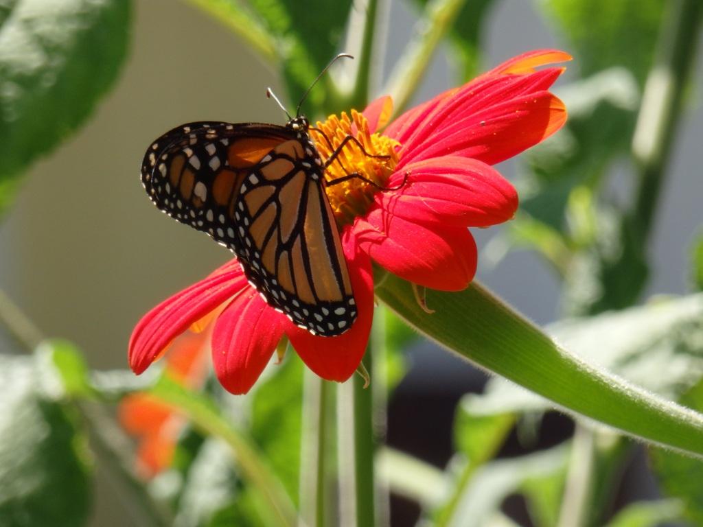 monarch pollen