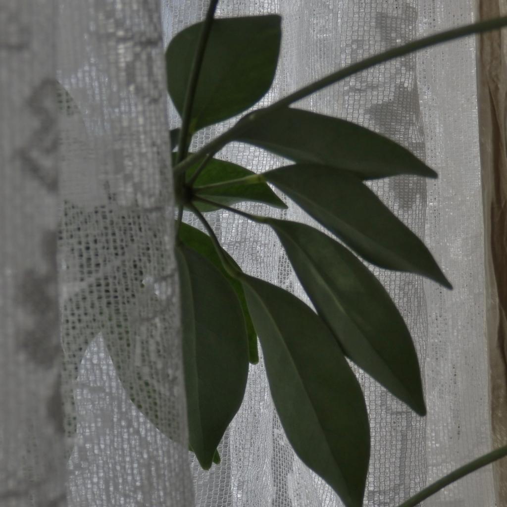 plant lace