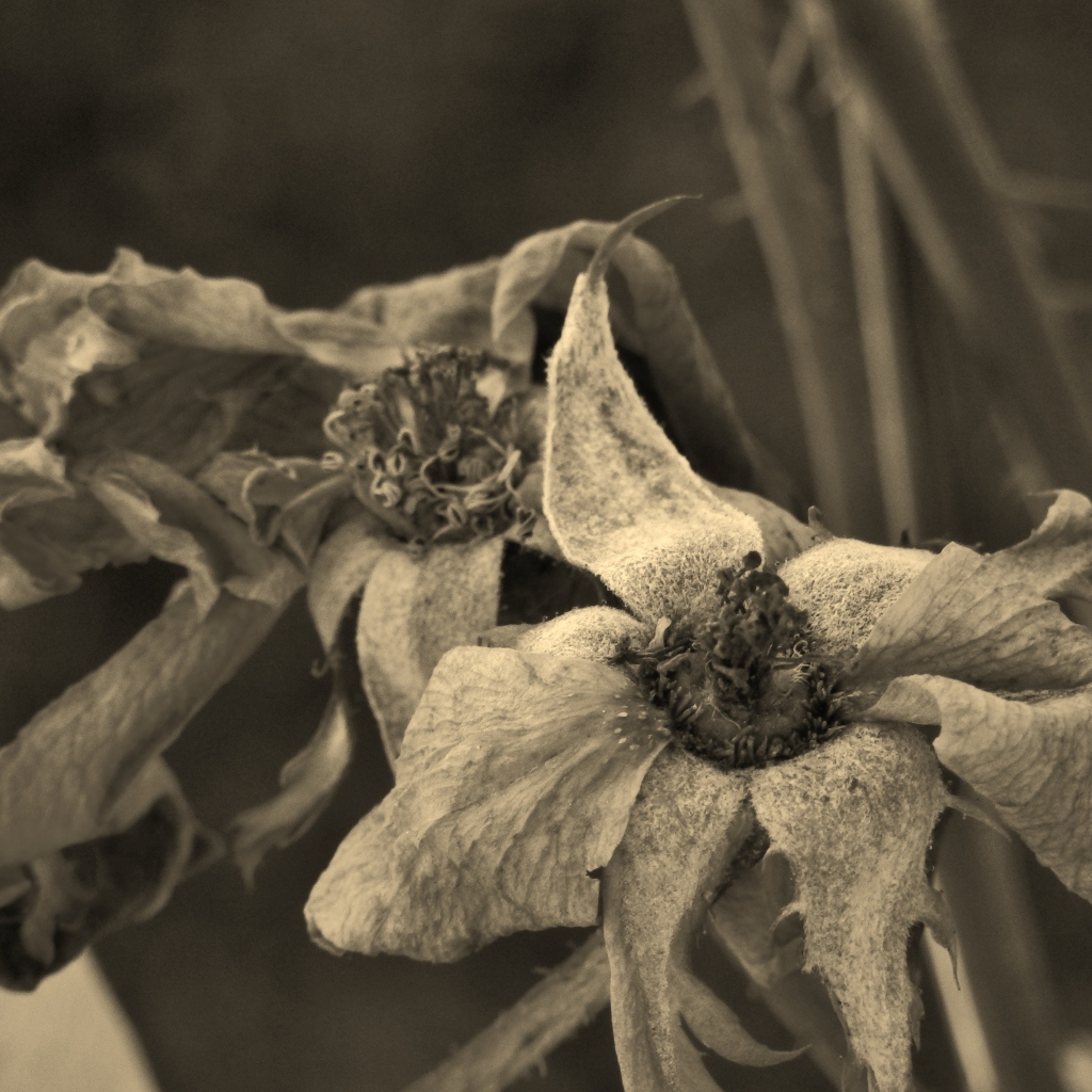 sepia wild rose wintered