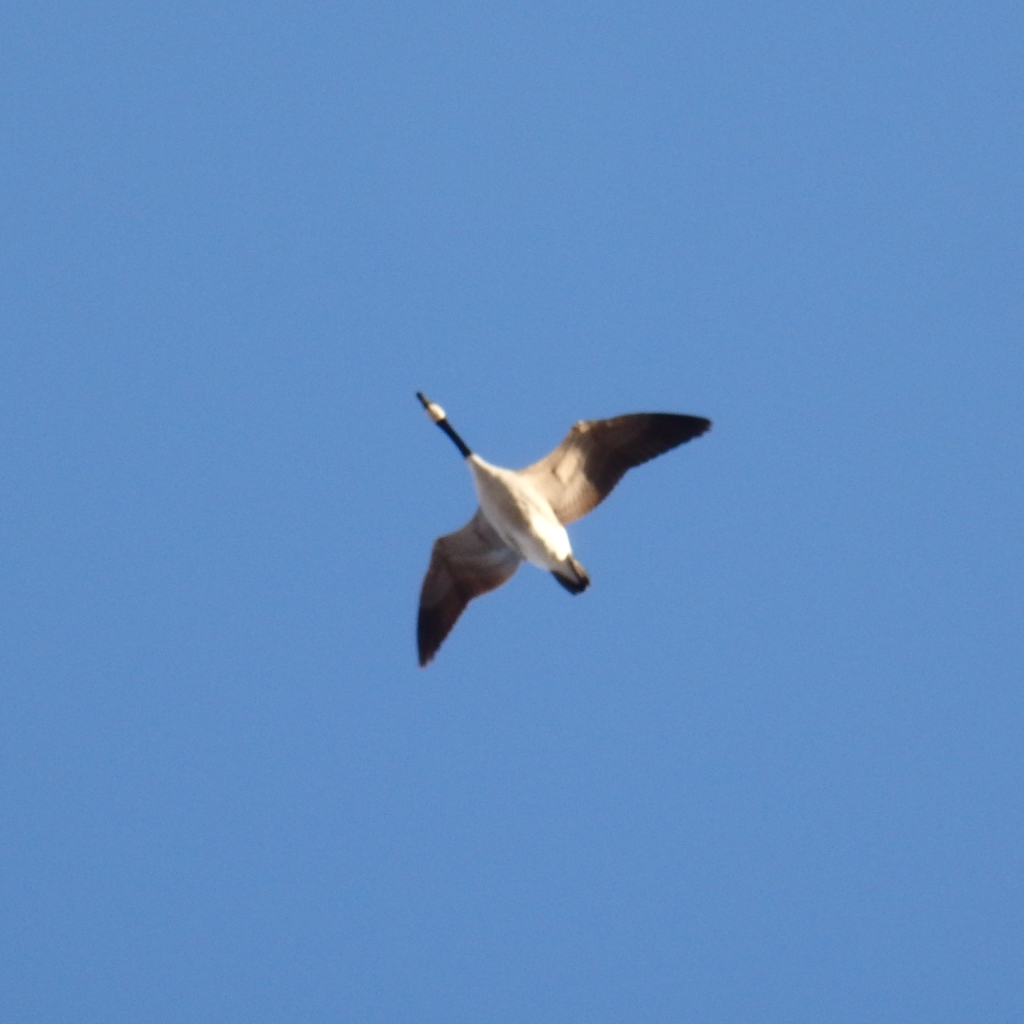 solo goose