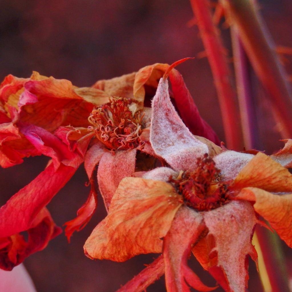 wintered wild rose
