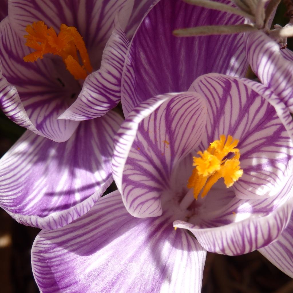 crocus purple 1