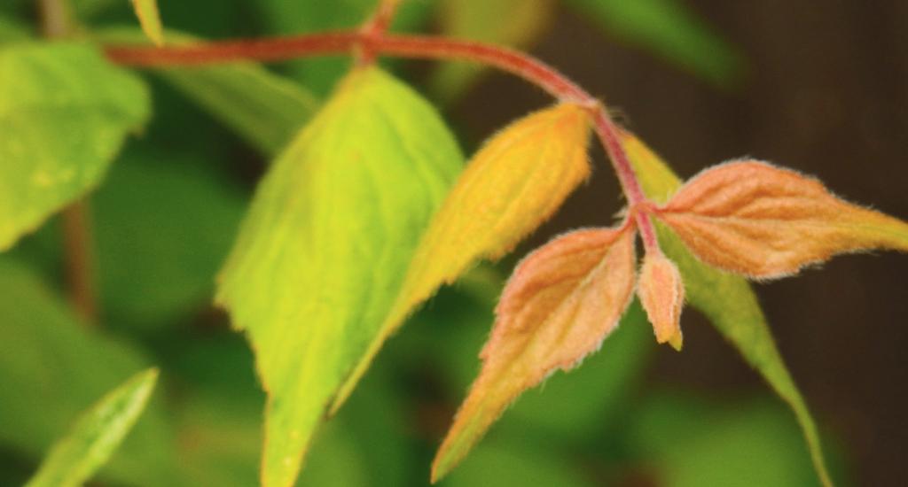 beauty bush leaves focus