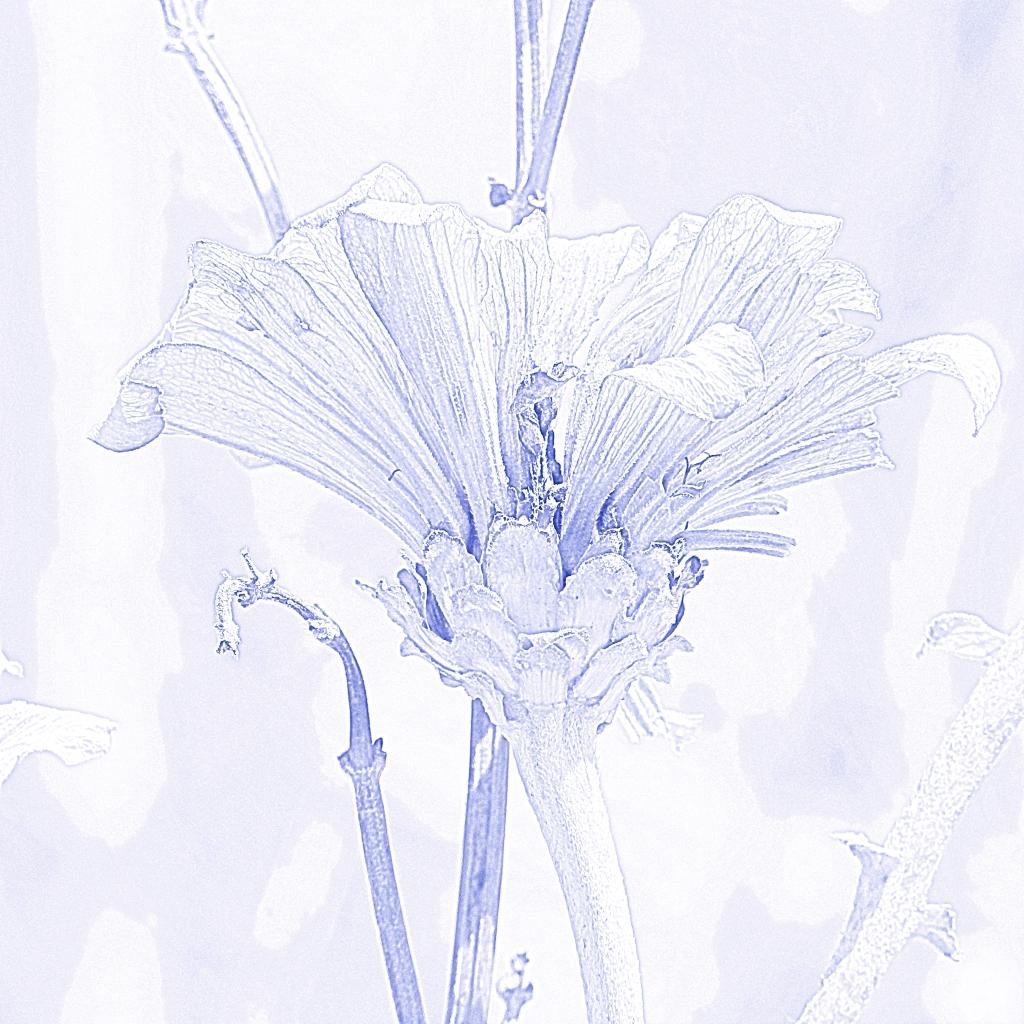 purple dry zinnia 1 sketch