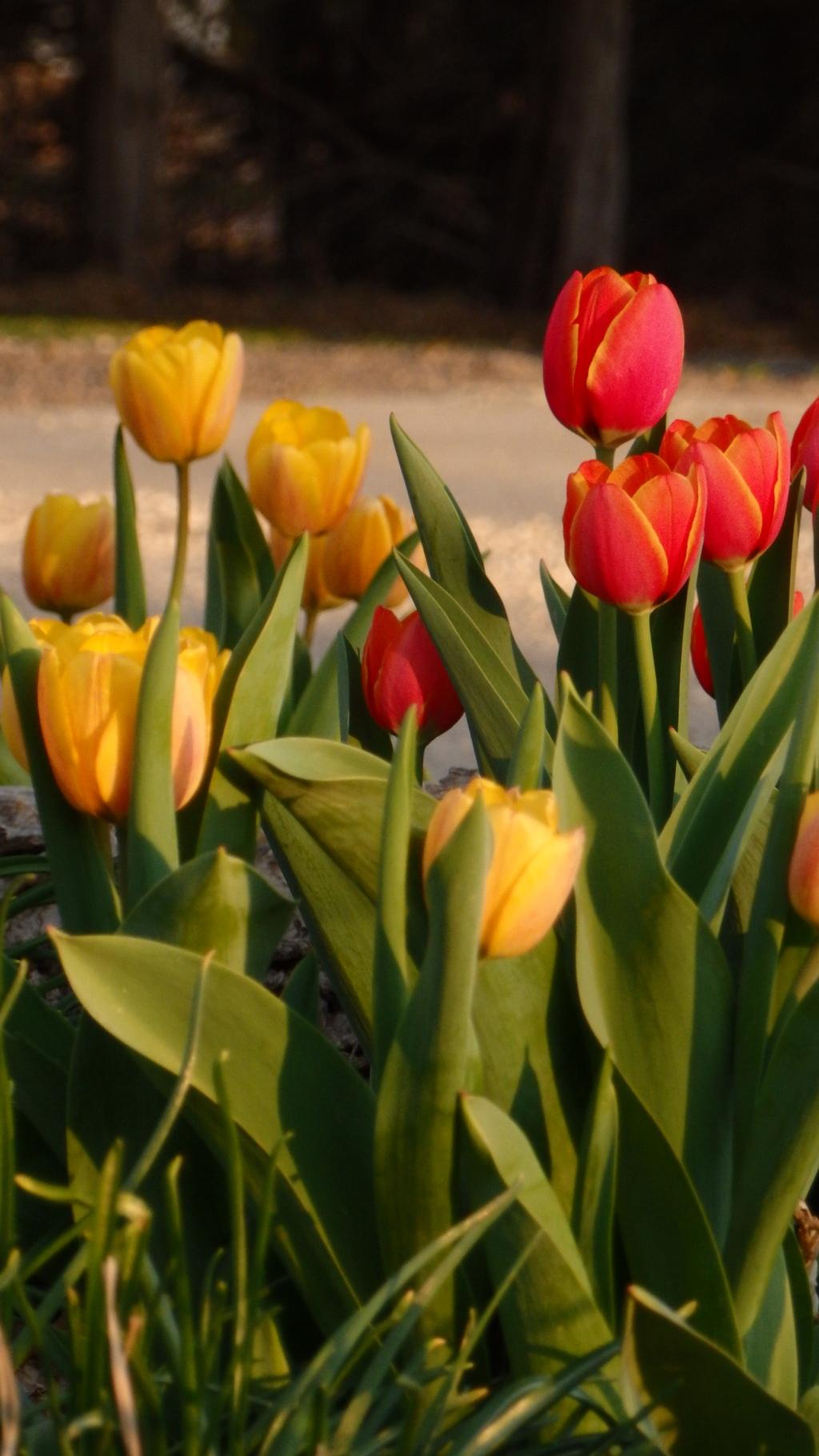 tulip group 4