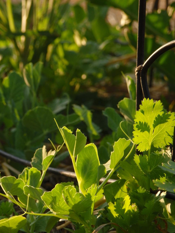 cilantro and pea