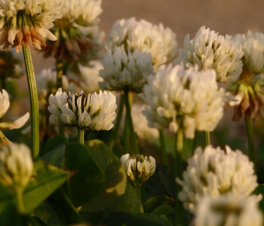 clover family
