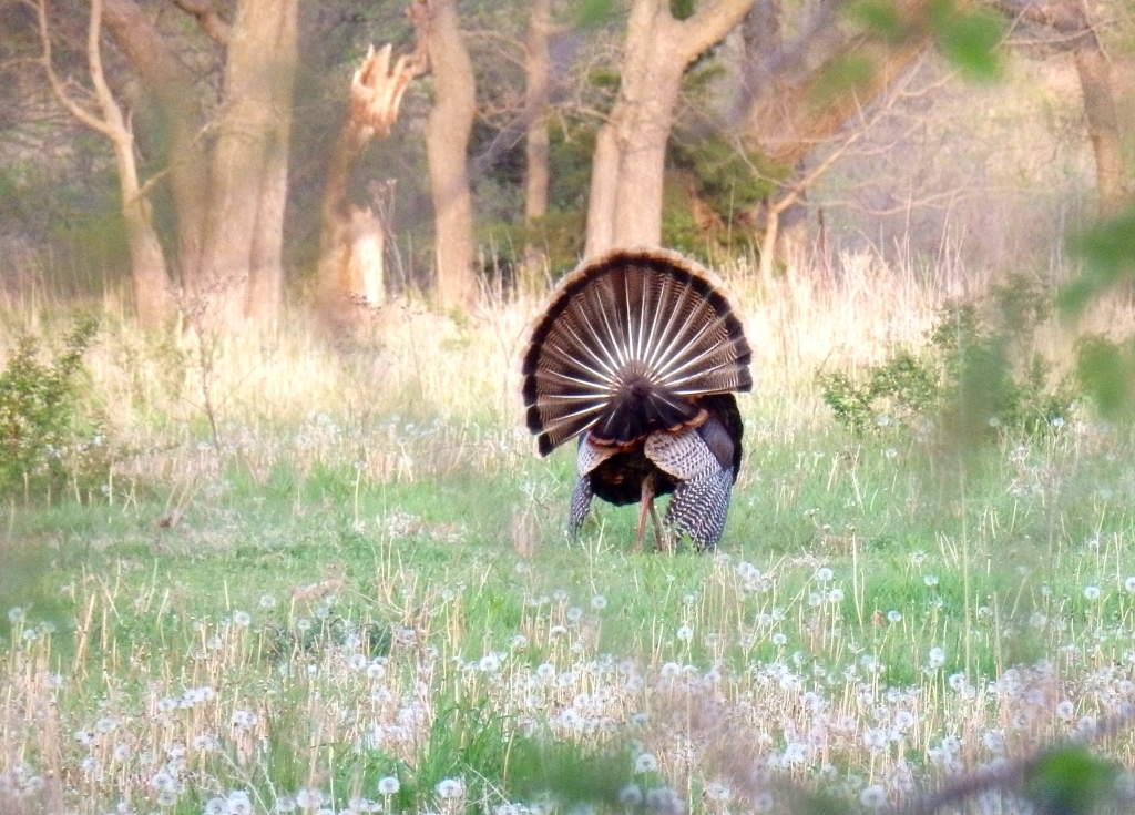 male turkey back