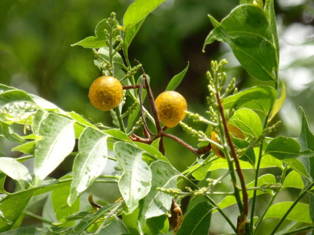 orange orbs in tree