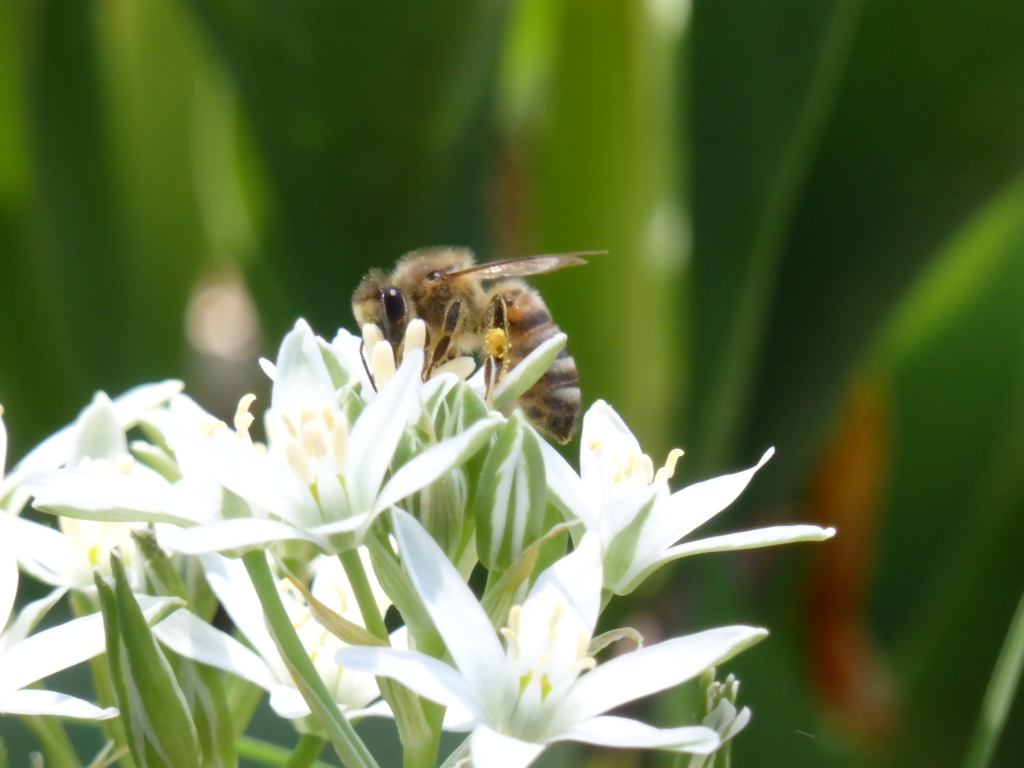 star pollinator