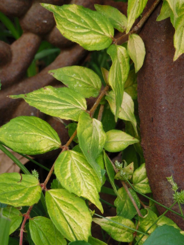 beautybush rust