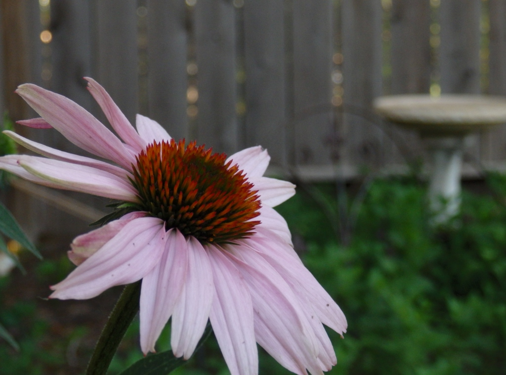 coneflower bath