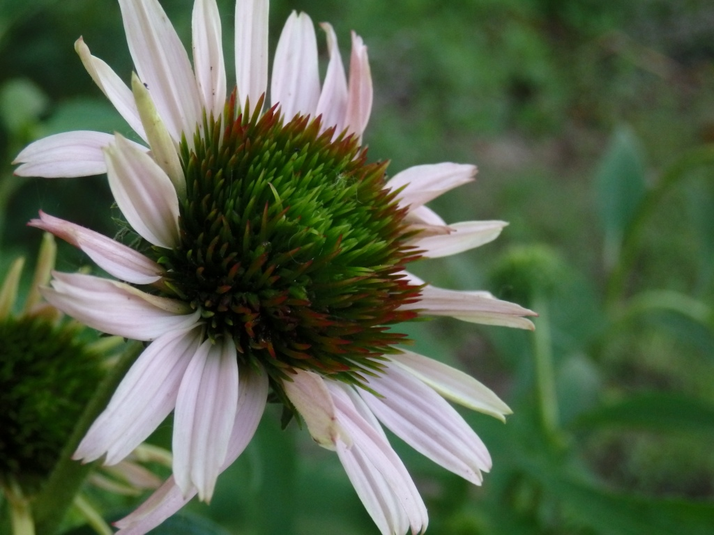 coneflower green