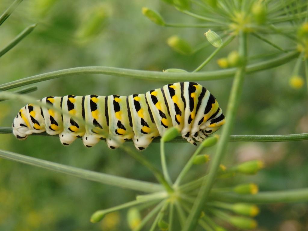 swallowtail caterpiller